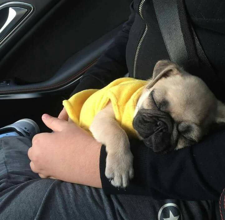 I have a picture of Moose like this! So sweet little pug