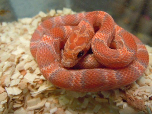 lava corn snake - photo #1