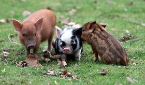 so cute!!: Piglets, Snuggle, Three Little Pigs, Pet, Minis Pigs, Baby Pigs, Black White, Teacups Pigs, Animal