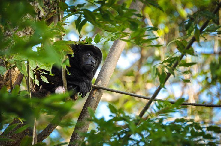 Singe hurleur, Ometepe, Nicaragua