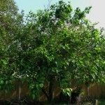 Growing Mulberry Fruit Trees: How To Care For A Mulberry Tree