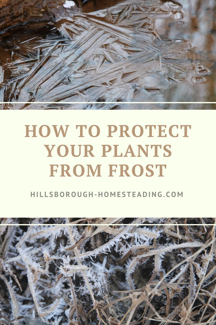 Fall gardens or early Spring ones are susceptible to frost damage. Click the image to read about how to protect your young plants from death by freezing temperatures.   Hillsborough Homesteading
