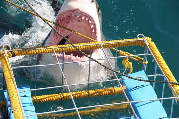 Shark Alley Express - Go Shark Diving in South Africa with pick up from Cape Town, Great White Shark cage diving or surface viewing (high season: Apr to Oct, intermediate: Nov to Mar) ---- will also see whales in Sept/Oct :)