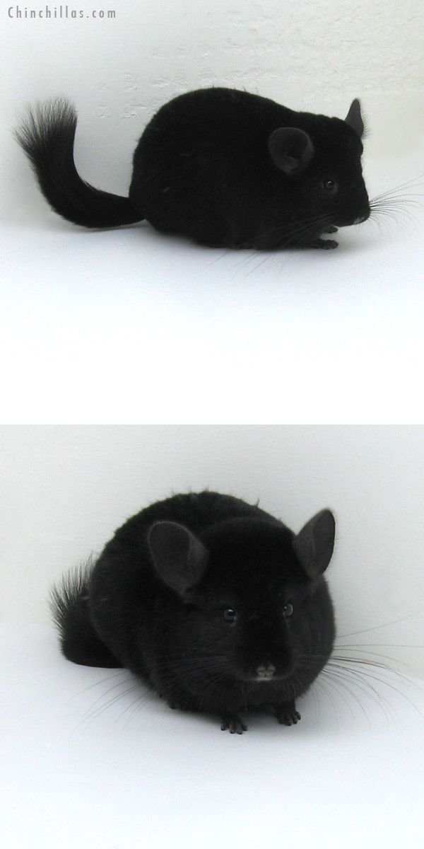 Ebony Chinchilla - aww, makes me miss my Izzie!!