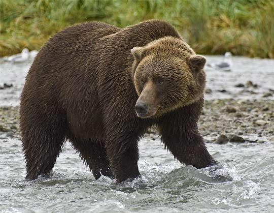 Know the Brown bear, its diet and habitat just click on to visit the website about animal facts.