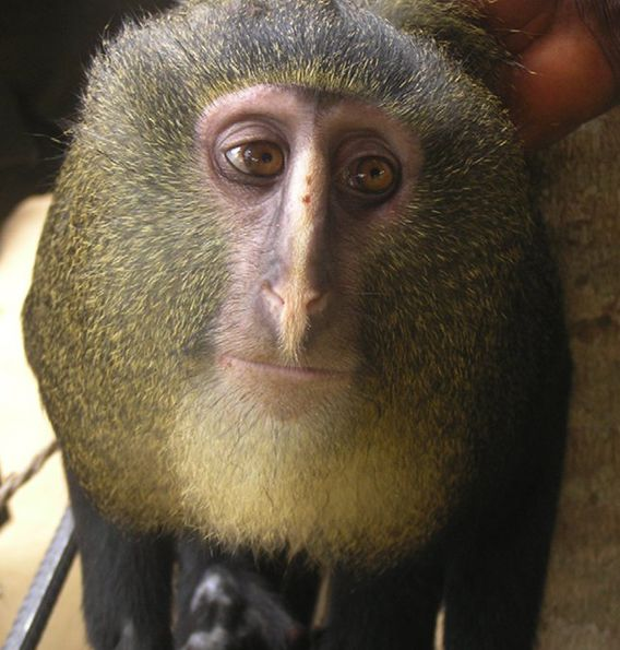 Remarkable new monkey discovered in remote Congo rainforest: the Lesula