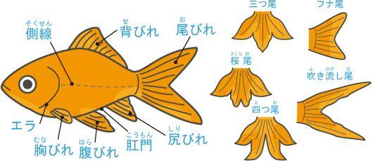 体の名前と尾びれの種類 金魚 観賞魚 魚