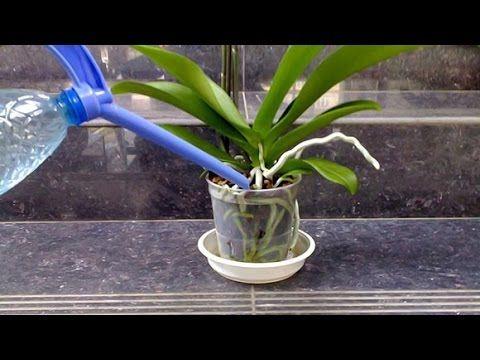 Полив орхидей :чеснок+янтарная кислота