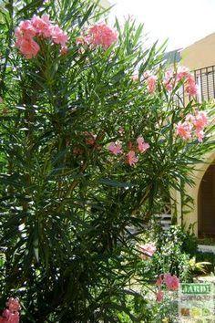 Le laurier rose est un arbuste d'une grande beauté dont il existe de nombreuses variétés, à fleurs simples ou doubles, dans une vaste gamme de coloris. Le secret d'un laurier rose compact  mais fleuri tient à une taille annuelle pour cet arbuste peu exigeant par ailleurs. http://www.jardipartage.fr/taille-laurier-rose/