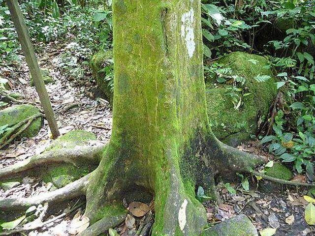 Долина квадратных деревьев   Это удивительная природная аномалия, расположенная неподалеку от Панамского канала. Многие тополя произрастающие в этом месте имеют прямоугольные стволы. Даже кольца этих деревьев имеют прямоугольную форму.