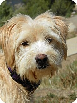 wheaten terrier rescue colorado 80 best images about wheaten terrier mix on pinterest 2304