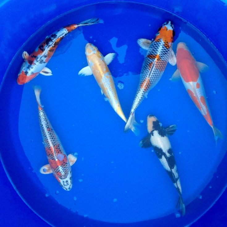 112 best koi images on pinterest fish aquariums fish for Koi pool for sale