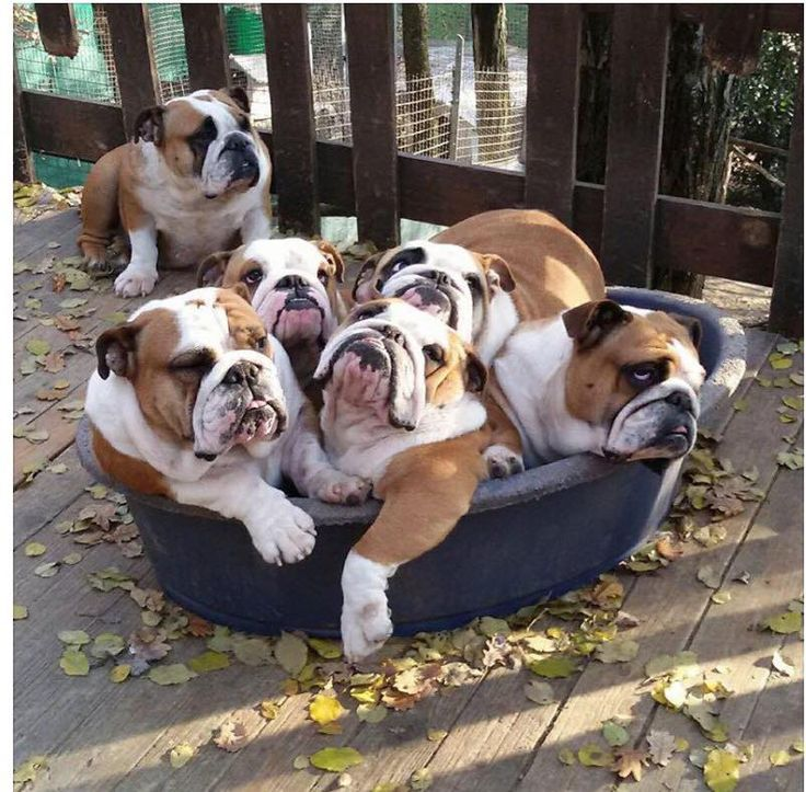 Tub o' bullies My goal was to have 6. can you imagine the smell and the snoring?