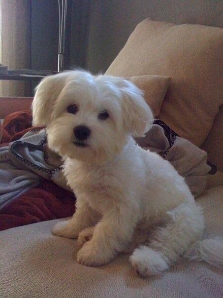 Franz via #dogsly Shihpoo, Shihtzu, Poodle.