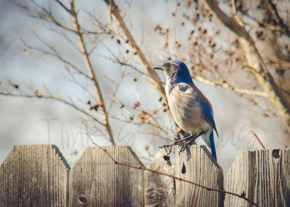 Blue Jay naturalistiche natura stampa di TimeisPreciousPhotos