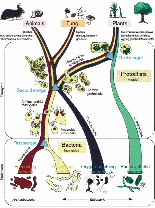 endosymbiosis hypothesis Lynn margulis first proposed the endosymbiosis hypothesis endosymbiosis provides explanation for how mitochondria and  endosymbiosis case study questions key:.