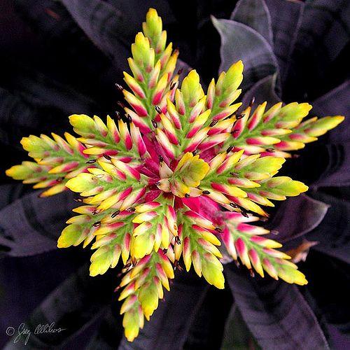 Striking Bromeliad Bloom...