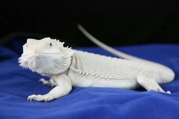 Rial Dragons