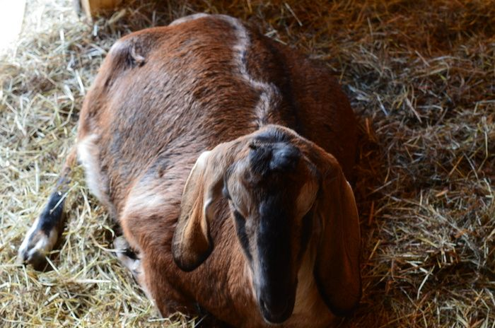 Milk Fever Mistakes Goat Farming Goats Fever