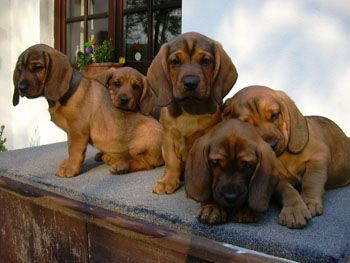 Pin by Dog Breeds on Tyrolean Hound Pinterest