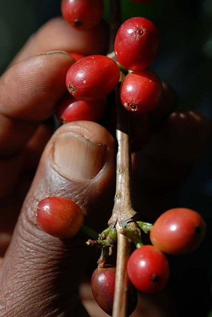 Ripe coffee on the bush - all Ethiopian coffee is arabica.