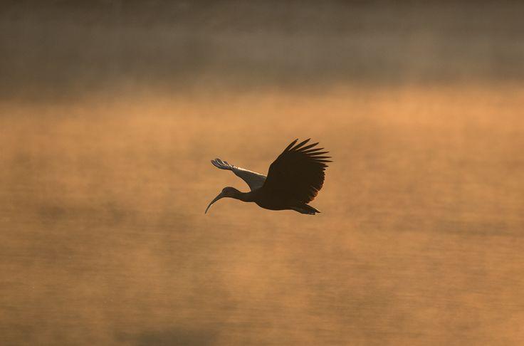 Green ibis at dawn. - Green ibis at dawn in Cocha Salvador in Manu National…