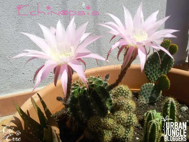 Come coltivare l'Echinopsis - How to grow #gardening #cactus #pink #flowers