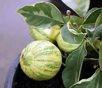Цитрус макрофила вариегата (пестролистный розовый лимон)