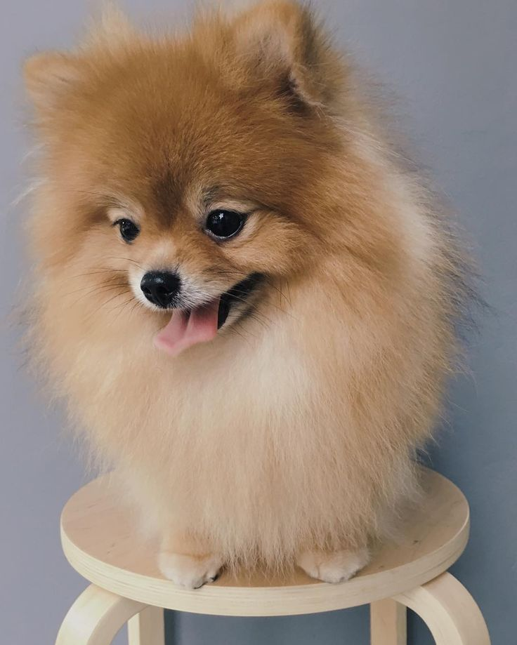 fat pomeranian fat pomeranian images reverse search 3637