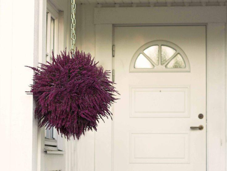 Ljung syns i många trädgårdar och på balkonger under hösten. Men har du testat att göra en fin dekoration av ljungen? Här visar vi hur du gör en fin ljungboll att hänga upp utomhus. Det är både lätt och blir en fin dekoration som håller länge!