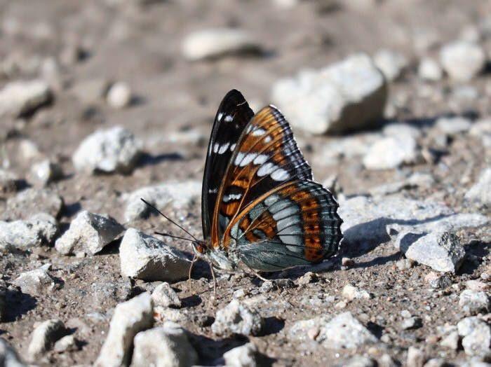 Haapaperhonen /poplar admiral butterfly