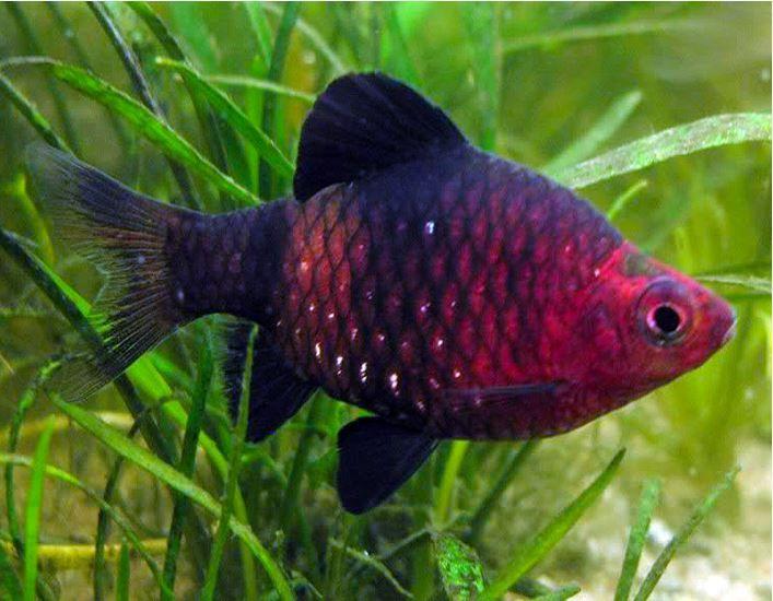 Black Ruby Barb Tropical Fish Arizona Aquatic Gardens Aquarium Fish Freshwater Aquarium Fish Pet Fish