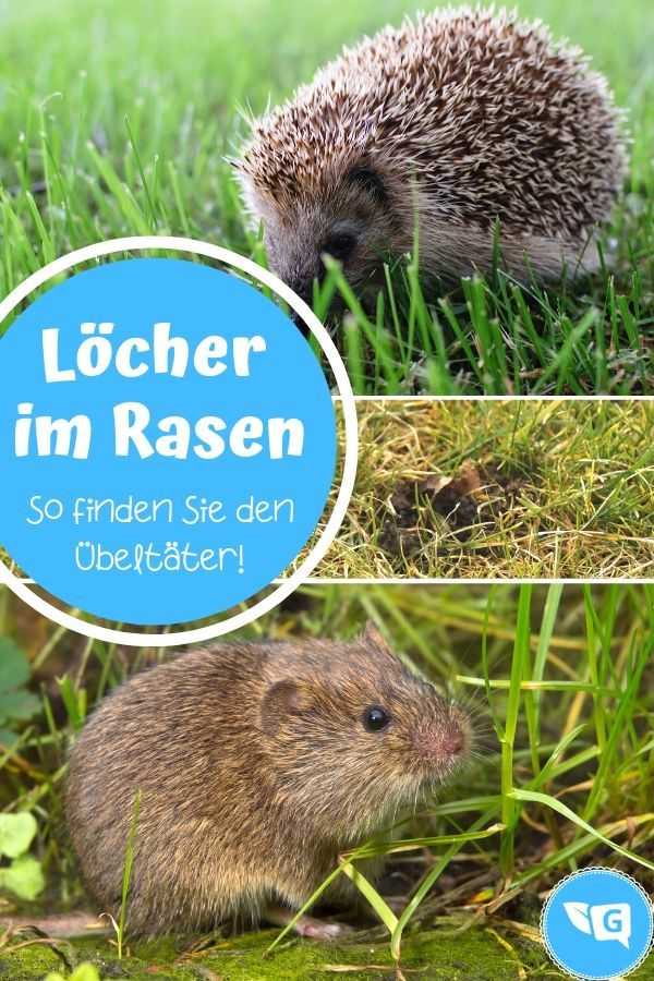 Kleine Runde Locher Im Rasen Wer War S Maus Oder Igel Gartendialog De Igel Im Garten Rasen Schadlinge Im Garten