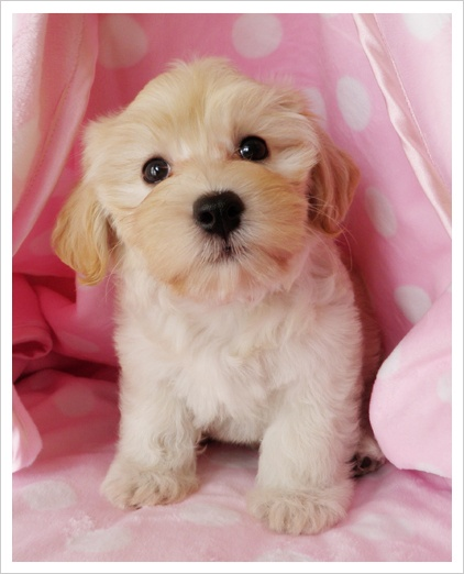 17 Best images about Havanese on Pinterest | Adoption ...