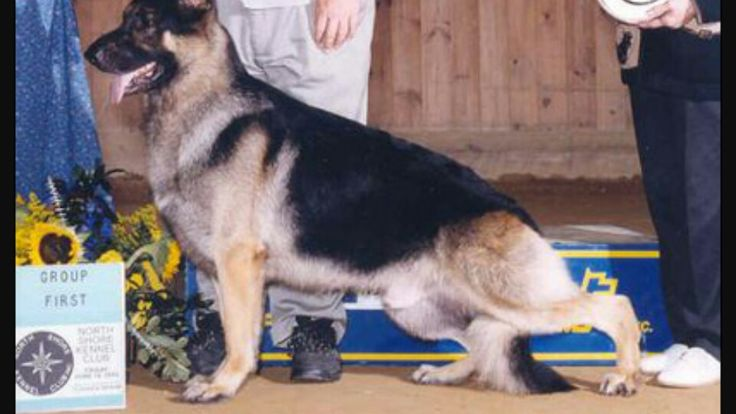 17 Best Images About Gsd Bad Breeding On Pinterest Body