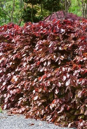 Fagus sylvatica Atropurpurea-Copper beech-Hedge