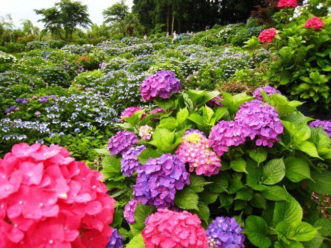 色とりどりの紫陽花が咲き誇る!佐賀県、大聖寺で「あじさい祭り」開催