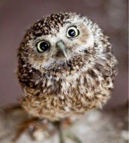 LES POULES: Sua Maestà il Gufo - Owl