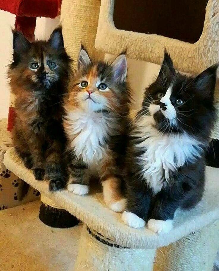Norwegian Forest Cat Looks Like A Really Fluffy Wolf Description From Pinterest Com I Searched For This On Bing Norwegian Forest Cat Forest Cat Pretty Cats