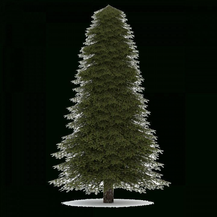 17 Evergreen Trees Png Evergreen Png Trees Evergreen Png Pngevergreen Trees Tree Evergreen Trees Evergreen