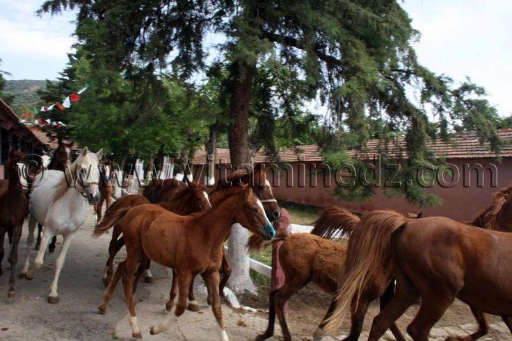 elevage cheval arabe Le Haras de ChaouChaoua de Tiaret