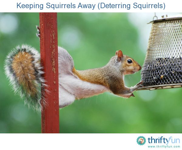 Keeping squirrels away deterring squirrels gardens - How to keep squirrels away from garden ...