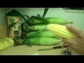 How to shuck corn and get it silk free-- Clean Ears Everytime