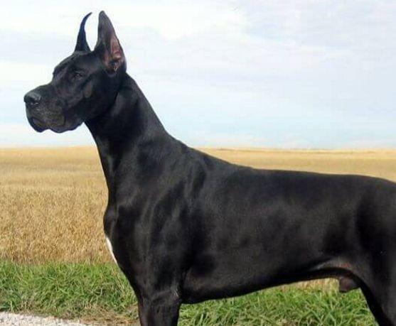 Dogo alemán o Gran danés: descubre la raza más grande del mundo