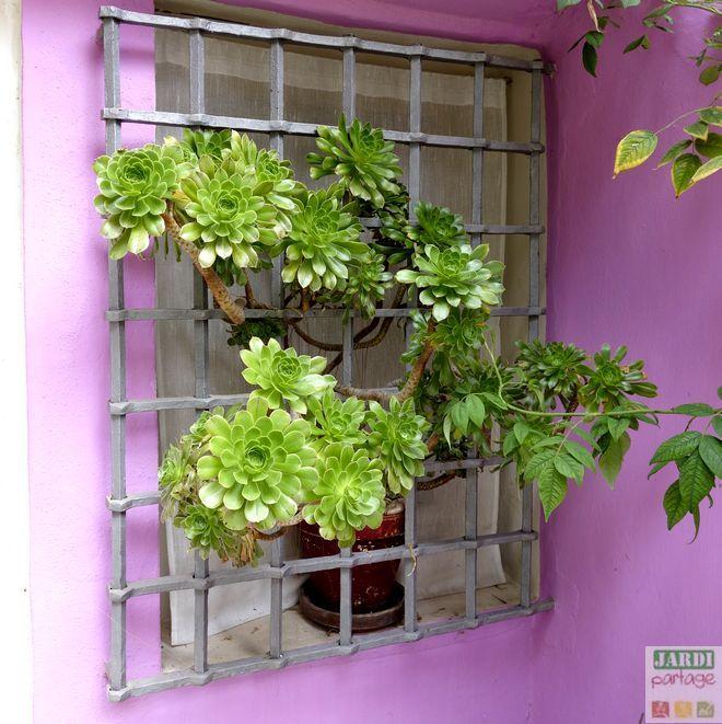 Aeonium Arboreum Culture Entretien En Pot Decoration Jardin