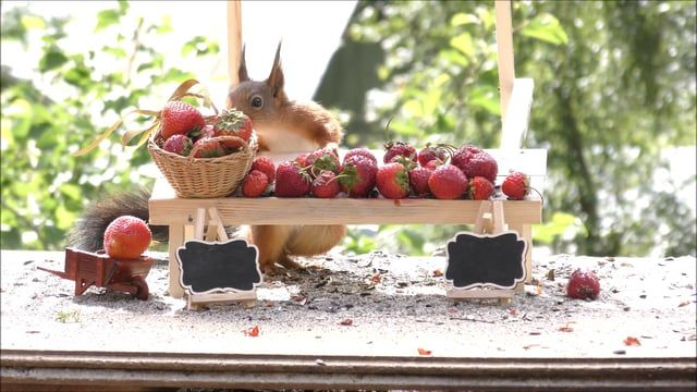 photos and video of red Squirrels in different scenes with strawberries