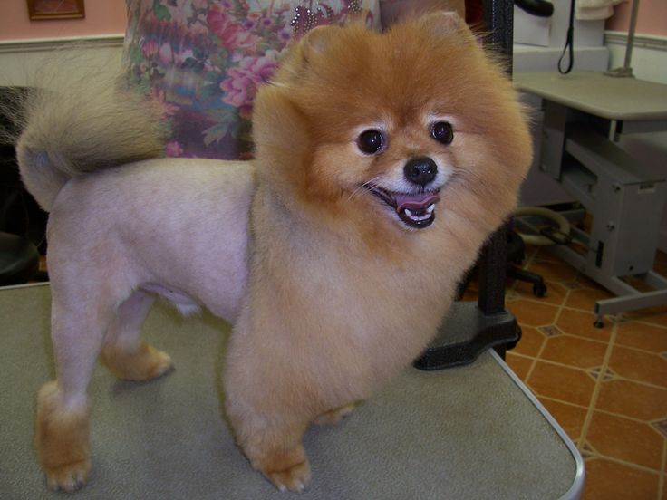 a pom in a lion clip Dog grooming, Grooming, Poodle