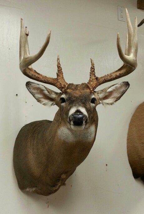 Whitetail deer mount Taxidermy done by the Mad Taxidermist: Rob Reysen www.lakeviewtaxidermy.com