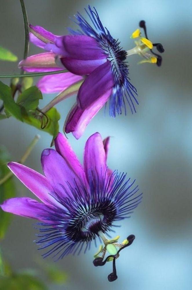 Nomi Di Fiori Viola.Fiore Di Passiflora Passione 10 Piantare Fiori Fiori Viola