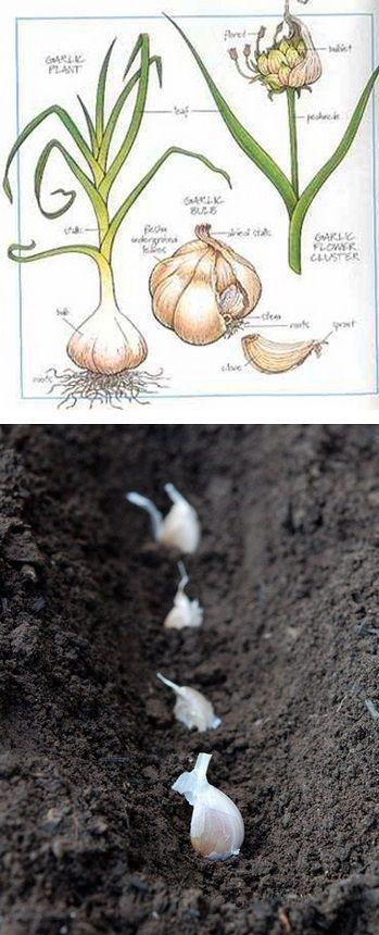 The Backyard Garden: How to grow and harvest garlic